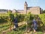 Weinlese Klosterweingut Abtei St. Hildegard