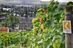 Rheinsteig, Weinberge