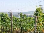 Weinbau in Rüdesheim am Rhein